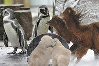 Mráz v pražské zoo: Klokani i velbloudi si libují, tučňáci jsou schovaní