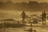 Na pláži se objevilo sto mrtvých kosatek. Nikdo neví, co se jim stalo