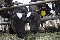 Vědci chtějí zmutovat krávy, aby se rodily bez rohů. Kvůli bezpečí lidí