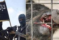 Divočáci zabili tři džihádisty z ISIS. Rozzuřená zvířata bránila půdu