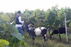 Tomáš Hanák žene kozy vinohradem