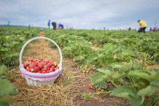 Samosběr jahod: Přehled míst, kde v ČR nasbíráte jahody za poloviční cenu, než koupíte v obchodě