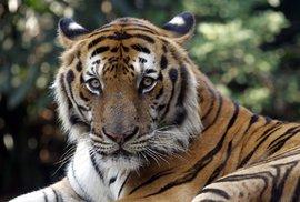 Poprvé za více než 100 let rostě ve volné přírodě počet tygrů, jenže na světě již žije jen kolem 4 tisíc