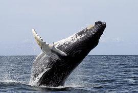 Whale watching: Fascinující záběry velryb z dronů pomohly vědcům odhalit tajemství…