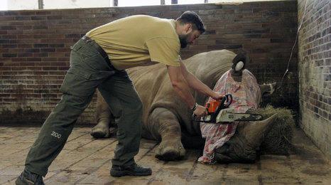 Pozor, drsné záběry: ZOO odřezala nosorožcům rohy. Aby je chránila