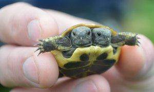 Chovatel z Hradecka má dvouhlavou želvu: Zřejmě srostla siamská dvojčata