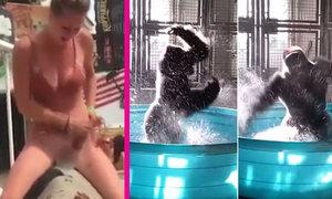 Dívku při rajtování na býku zradily kalhotky. A gorilí samec, co tančí jako ve Flashdance!