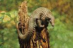 Z osmi druhů luskounů žijí čtyři v Africe a čtyři v Asii