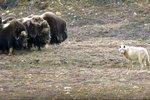 Tvrdohlaví pižmoni se staví proti vlkům čelem