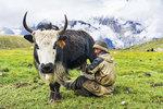 Jakové byli v Tibetu domestikováni už v 1. století př. n. l.