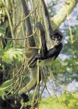 Koruny stromů jsou domovem chápanů. Hravě šplhají po větvích (vpravo) nebo se přemisťují ze stromu na strom (dole)