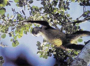 Koruny stromů jsou domovem chápanů. Hravě šplhají po větvích (vpravo) nebo se přemisťují ze stromu na strom