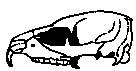 Lebka damana s prodlouženými řezáky