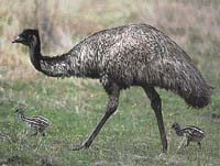 Emu australský (Dromaius novaehollandiae)