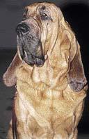 Anglický bloodhound