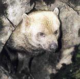 1 Pes pralesní