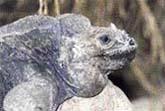 2 Leguán nosorohý