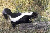 3 Skunk pruhovaný