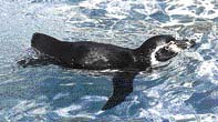 5 Tučňák Humboldtův