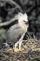 Krvelačné kuřátko - hladové harpyjí mládě se křikem dožaduje potravy