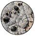 Buellia punctata (7x)