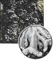 Parmeliopsis ambigua (0,4x)
