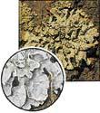 Xanthoria parietina (0,1x)