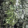 Evernia prunastri (0,2x)