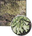 Hypogymnia physodes (0,2x)