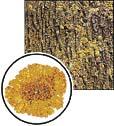 Parmelia sulcata (0,8x)