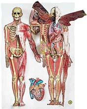 Anatomie Cloveka Abicko Cz
