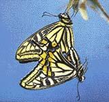 Páření motýlů je osvětleno