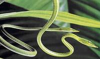Bičovka nosatá (Ahaetulla nasuta)  - Všimněte si protáhlého tvaru zorniček, který umožňuje hadovi výhled dopředu oběma očima současně