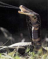 Tzv. plivající kobry mohou svůj jed vystřikovat na dálku - patří k nim i kobra Naja mosambica. Při lovu používají zuby normálně a do kořisti vpravují jed kousnutím