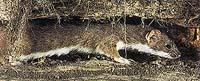 Kolčavy loví hraboše nejčastěji přímo v jejich norách
