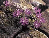 Prvosenka nejmenší (Primula minima)
