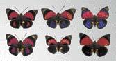 Jednotlivé poddruhy jihoamerických motýlů Agrias claudina se výrazně liší, ale mohou se vzájemně křížit