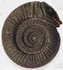 Běžný druhohorní měkkýš amonit býval považován za hada