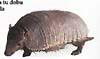 pásovec devítiprstý / V dobách, kdy byla Jižní Amerika ostrovem, se tady vyvinula řada originálních tvorů včetně pásovců