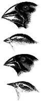 Darwinovy pěnkavy pocházejí z jediného předka