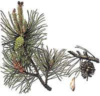 Borovice lesní má tvrdé dřevnaté šišky, které se otevírají za suchých teplých dní
