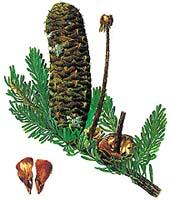 Zralá jedlová šiška se ještě na stromě rozpadá, na větvi zůstane jen středové vřeteno