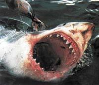 Žralok bílý neboli lidožravý