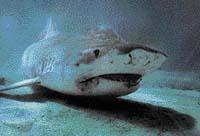 Žralok tygří patří k nejnebezpečnějším druhům, neboť se často zdržuje v blízkosti velkých měst a přístavů