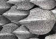 Kožní šupiny se liší tvarem, velikostí i uspořádáním do té míry, že jsou pro daný druh žraloka charakteristické