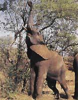 Afričtí sloni často spásají celé koruny stromů