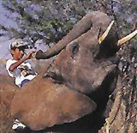 Odměna je při výcviku slonů nezbytná