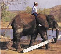Cvičený slon je mnohem silnější než kterékoliv jiné tažné domácí zvíře