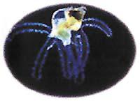 Plovoucí larva mořského plže