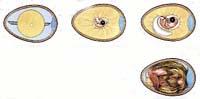 Vývoj slepičího vejce